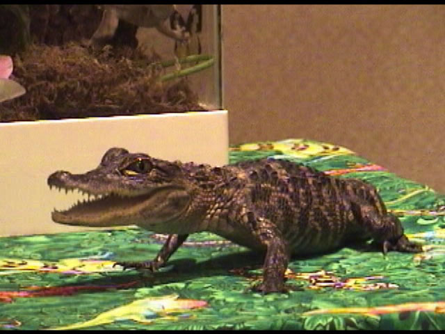 Satchel the Alligator - FC2003 from Classroom Safari.