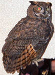 Highlight for Album: Great Horned Owl