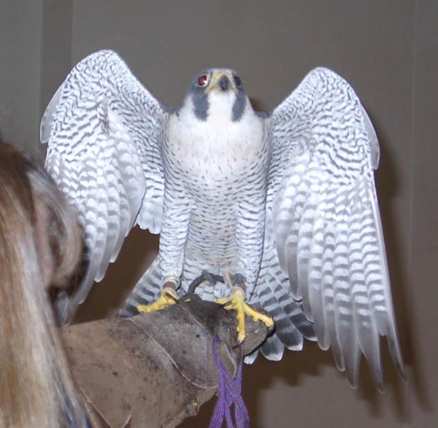 falcon14