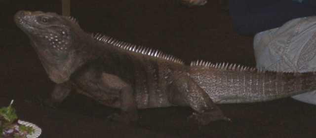 iguana07