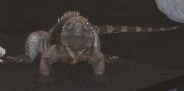 iguana08