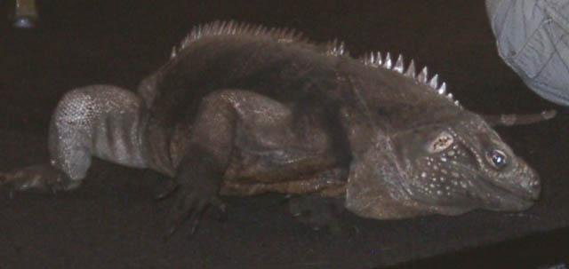 iguana09