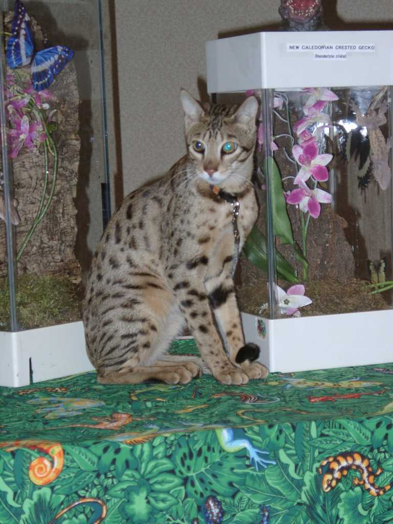 Galleries :: Savannah Cat