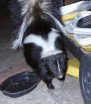 Highlight for Album: Skunks