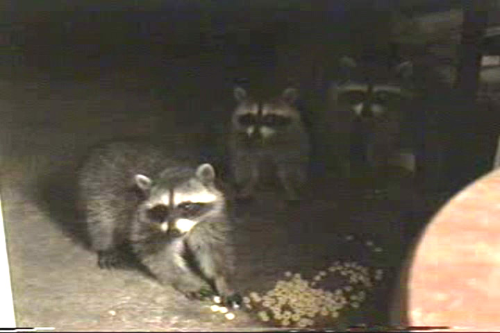 A raccoon mother and her babies visit. Resolution:160x120320x240640x480 RealVideo Stream: 56k 128k 256k 512k RealVideo Download: 630Kb 1475Kb 4121Kb 8265Kb