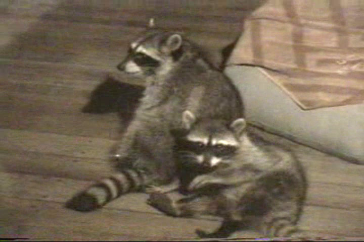 Two raccoons being affectionate.