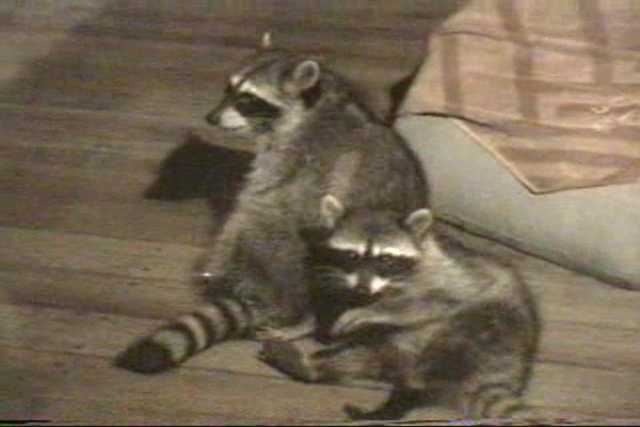 Two raccoons being affectionate. Resolution:160x120320x240640x480 RealVideo Stream: 56k 128k 256k 512k RealVideo Download: 793Kb 1854Kb 5191Kb 10426Kb