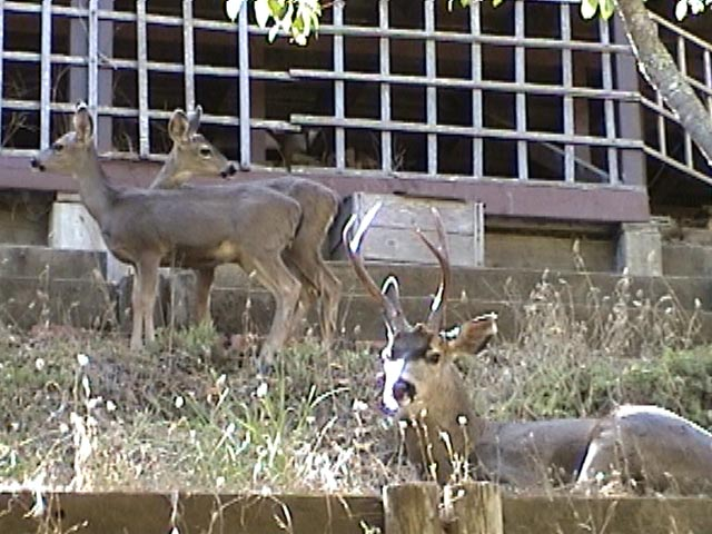 Family of deer in the backyard (buck, doe, boy and girl fawns)