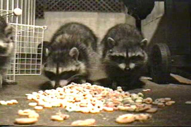 Raccoons get close to the camera for Froot Loops (20 min).