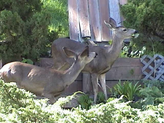Mother doe and her older daughter come around to eat our plants.