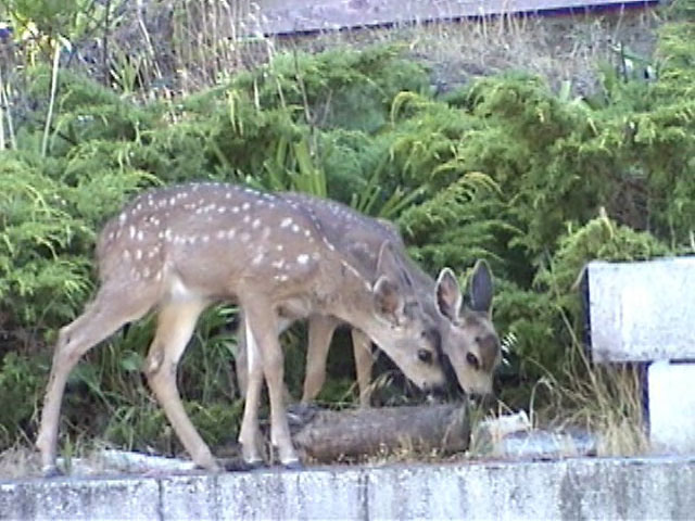 Mother doe brings her two little fawns for free food. Resolution:160x120320x240640x480 RealVideo Stream: 56k 128k 256k 512k RealVideo Download: 5084Kb 14829Kb 33182Kb 66345Kb