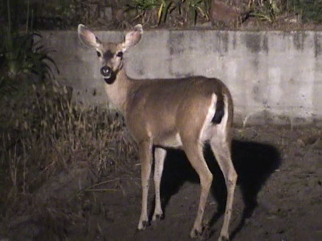 Mother doe shows up for a late night snack, and encounters a cat and raccoon. Resolution:160x120320x240640x480 RealVideo Stream: 56k 128k 256k 512k RealVideo Download: 986Kb 2881Kb 6441Kb 12866Kb