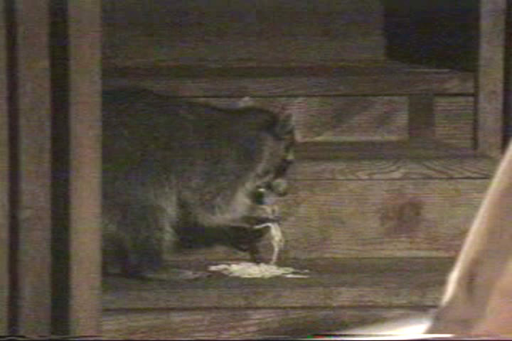 A raccoon tries to eat pasta.