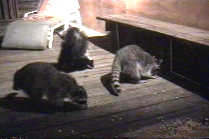 A skunk joins the raccoons.