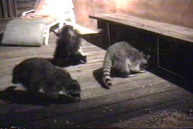 A skunk joins the raccoons. Resolution:160x120320x240640x480 RealVideo Stream: 56k 128k 256k 512k RealVideo Download: 871Kb 2036Kb 5687Kb 11489Kb