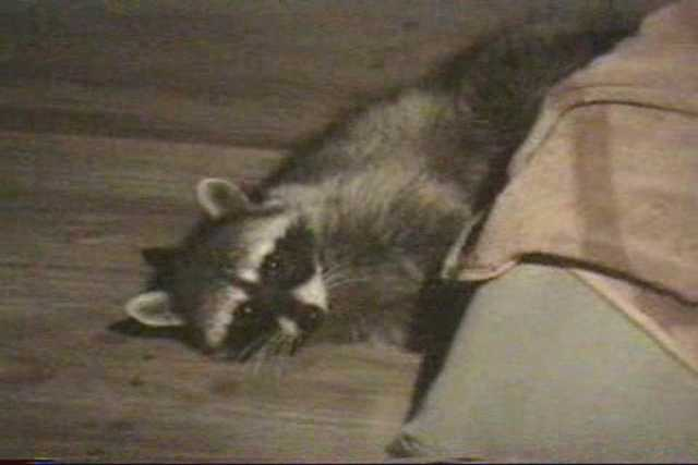 A raccoon plays with a towel.