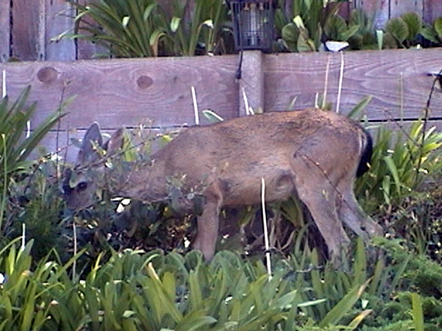 This young buck invaded the back yard. He likes apple slices though.